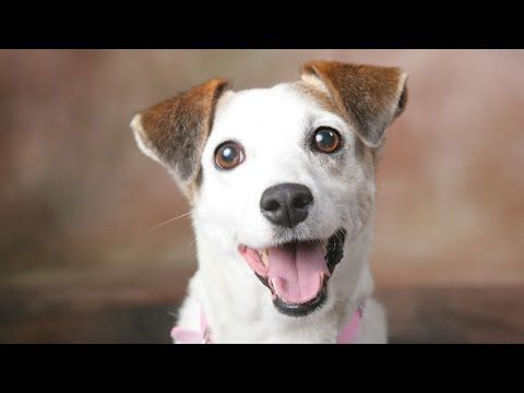 Jack Russell Dog Breed Youtube With Images Dog Breeds Jack Russell Jack Russell Dogs