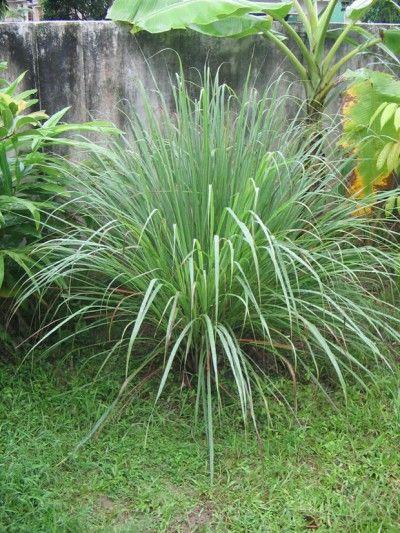 Cultivo y usos de planta de citronela 3