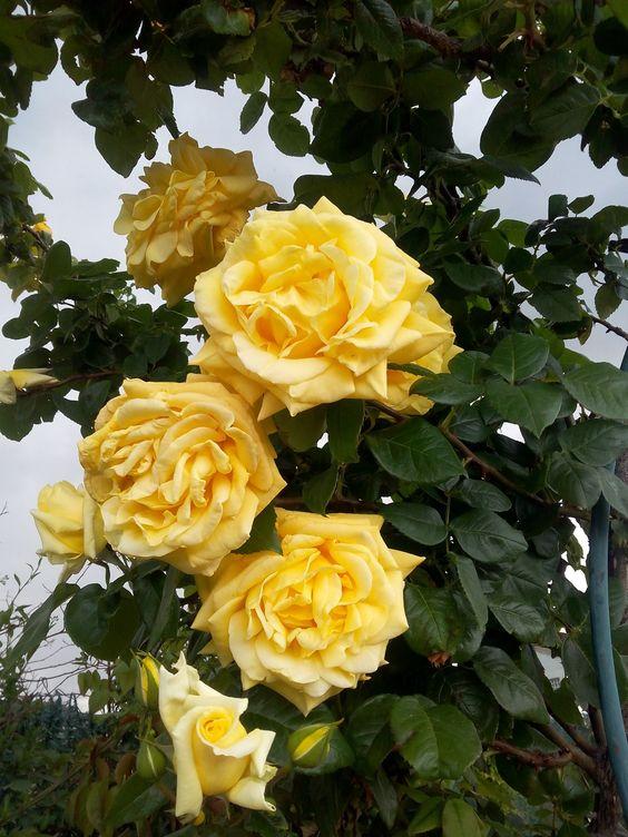 Rosas de mi jardín