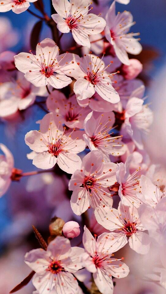 Wallpaper For Iphone 8 Plus Cars Provided Wallpapers For Iphone Pinterest Among Wallpapers F Flower Background Iphone Cherry Blossom Wallpaper Spring Wallpaper Free spring wallpaper for iphone 8