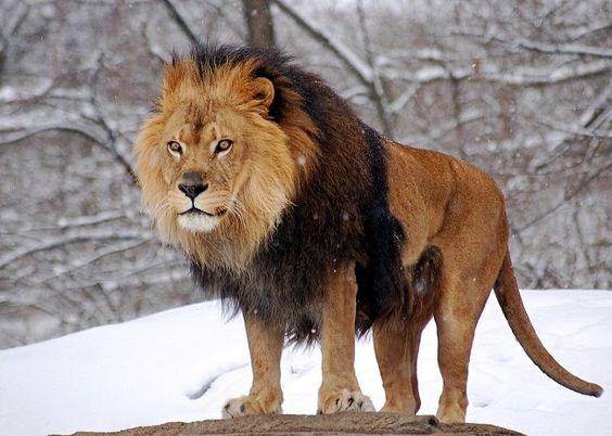 animais-selvagens leão