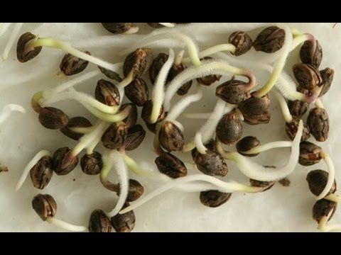 how to germinate and grow almonds