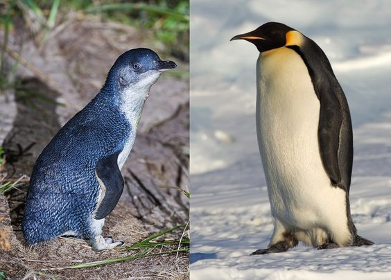 The smallest species of penguins next to the biggest one...