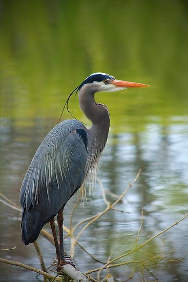 """Great Blue Heron"" - Esquimalt Lagoon, Vancouver Island, British Columbia, Canada 