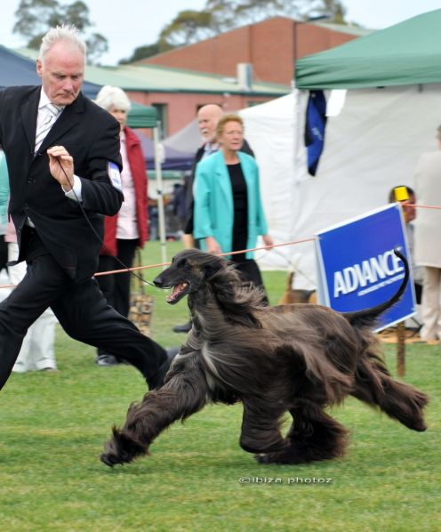 Presentation Versus Performance Dogs Dog Show Dog Training