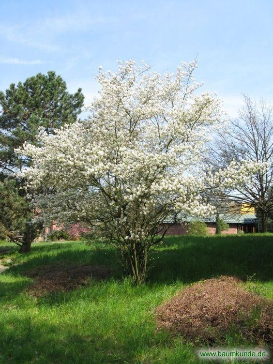 Gemeine Felsenbirne / Amelanchier ovalis / Habitus im Frühjahr Familie: Rosaceae