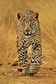 Leopard pósters | láminas | fotos