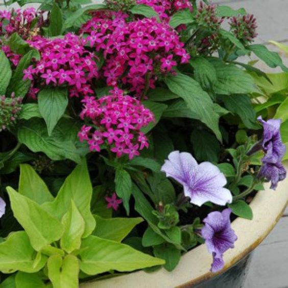 Pictures and Profiles of Great Container Plants and Flowers : Pentas, Sweet Potato Vine and Petunias