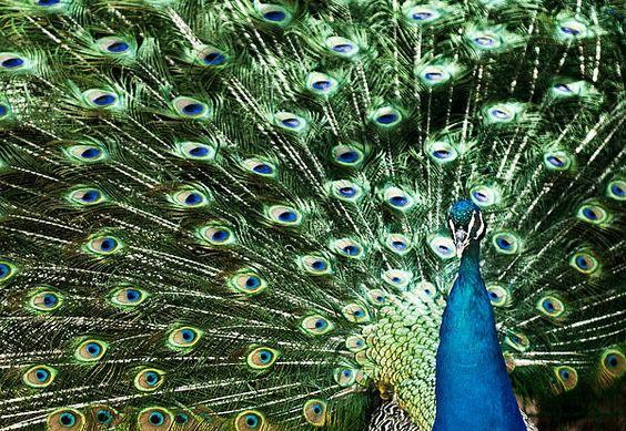 Peacock - Photo by Ivo Vuk