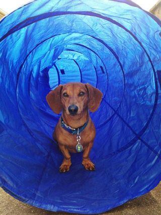 Dog Agility on the Farm (Ammo the Dachshund)