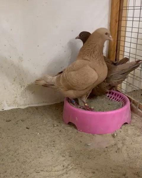 جاكوبين هومر فرل باك جعافر بلندونيت سنتونيت ارباش سكندرون بومنجل Scandaroon Pigeon Pigeons Mb معرض نفاخ لونق ك Instagram Posts Instagram Parrot