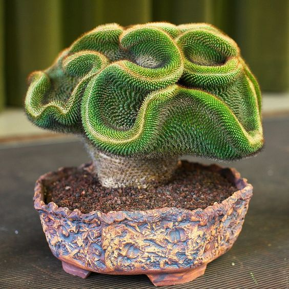Keith Kitoi Taylor photo of Ron Harris' Mammilaria mystax, taken at the San Jose Cactus and Succulent Show & Sale, 2012.: