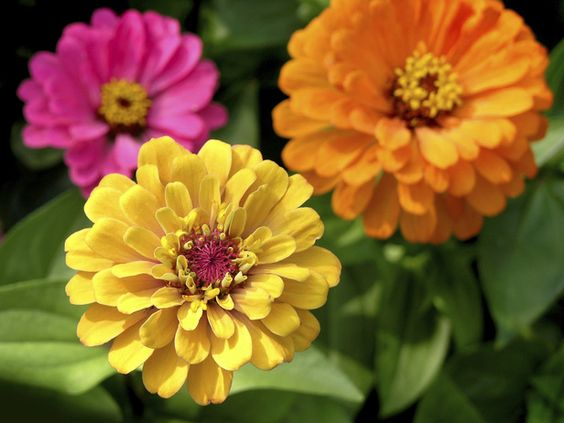 Low-Budget Color    Zinnias. This easy-to-grow annual provides a sea of color from early summer to the first hard frost. You can choose a winning cultivar from the Profusion series, or opt for an inexpensive packet of seeds of… more