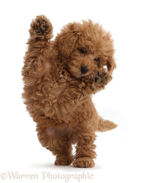Photograph Of Red Toy Labradoodle Puppy Jumping Up Rights Managed