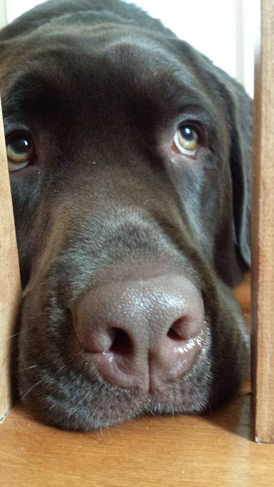 Thunder Wabush Labrador Canada This Is What My Lab Looks Like When It Is Raining Outside Please Let Me Inside Labradorret Coole Hunde Hunde Tiere Hund