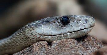 Schlange, Giftig, Gefährlich, Terrarium