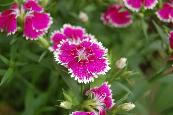 Dianthus. I took this photo in May 2009