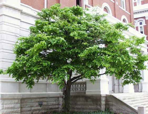 Blue beech american hornbeam this small growing tree is for Ornamental trees that grow in shade