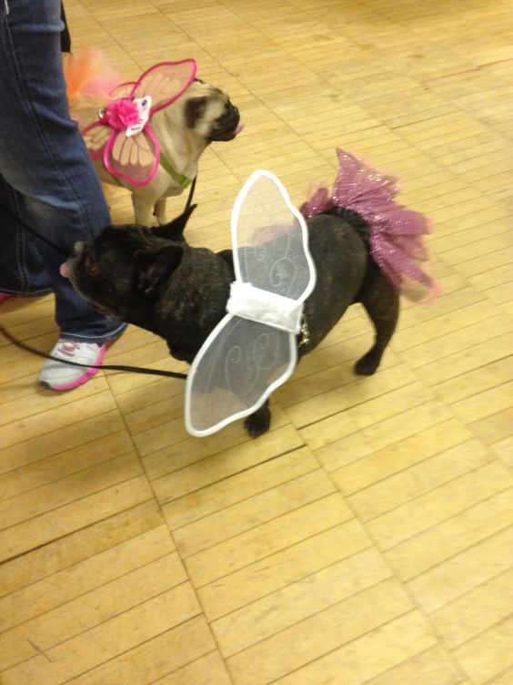 fairy pug and fairy French bulldog