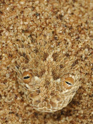 Head of a Peringueys Sidewinding Adder emerging from a sand dune (Bitis peringueyi), Namib Desert, Namibia. By solvin zankl. ❤ Reiseausrüstung mit Charakter gibt's auf vamadu.de