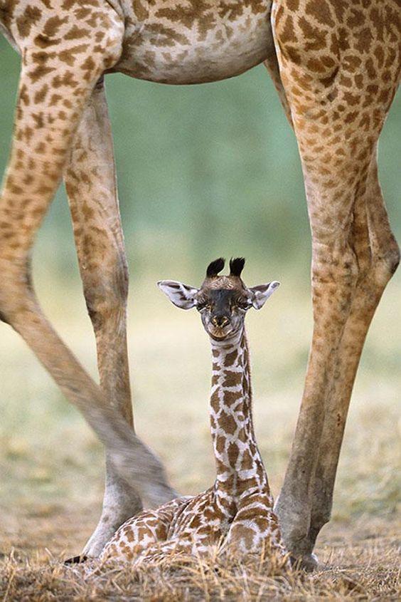 Newborn Giraffe and Mother