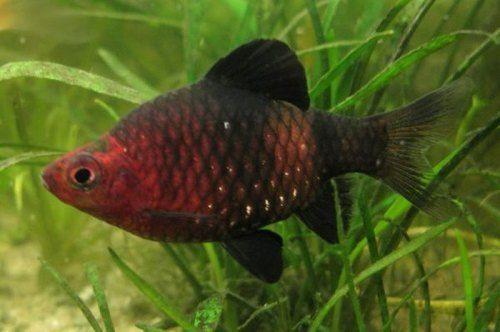 Black Ruby Barb Fish Black Ruby Fish Freshwater Fish