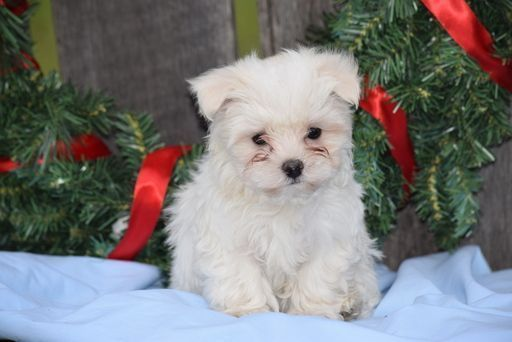 Maltese Puppy For Sale In Fredericksburg Oh Adn 60037 On