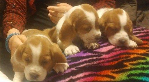 Litter Of 5 Basset Hound Puppies For Sale In Chickasha Ok Adn 34932 On Puppyfinder Com Gender Male S And Female Basset Hound Hound Puppies Puppies For Sale