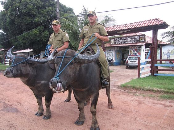 PA Ilha do Marajó - Soure - Búfalos da Polícia Militar 0628 by Vida de Viajante, via Flickr