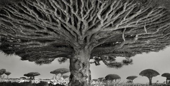 As árvores mais antigas do mundo