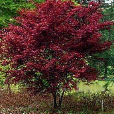 Red Emperor Japanese Maple 3 Gallon 24 30 Ht Japanese Maples Buy Plants Online Japanese Maple Garden Buy Plants Online Japanese Maple Tree