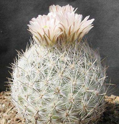 Echinomastus