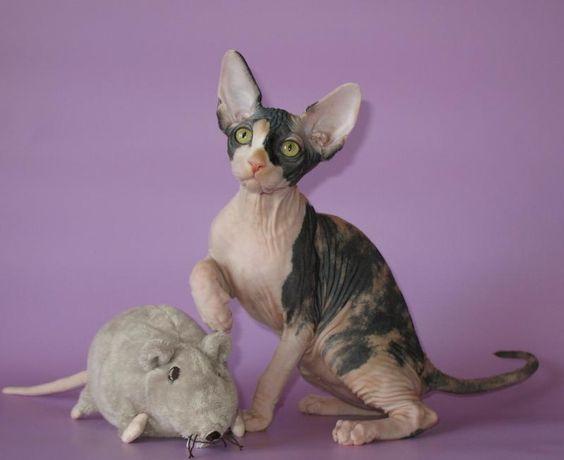 Gatinhos Sphynx Venda - Kittens