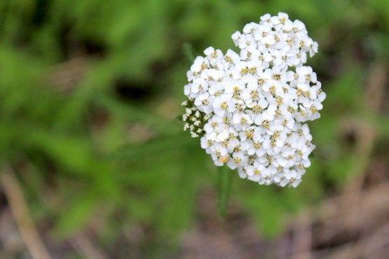 50 Ways To Use Yarrow In 2020 Achillea Achillea Millefolium Yarrow