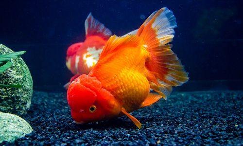 سمك الزينة البرتقالي المميز تفاصيل تربيته وخصائصه Koi Pond Backyard Colorful Fish Goldfish