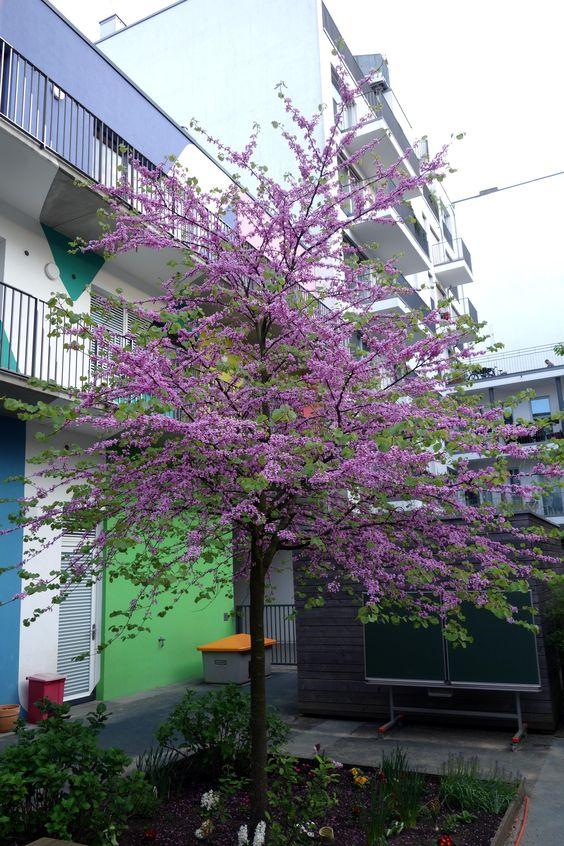 Nordamerikanischer Judasbaum (Cercis canadensis)