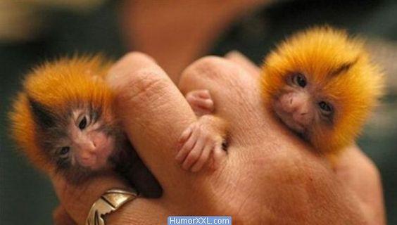 Loris Delgado , o menor primata do mundo