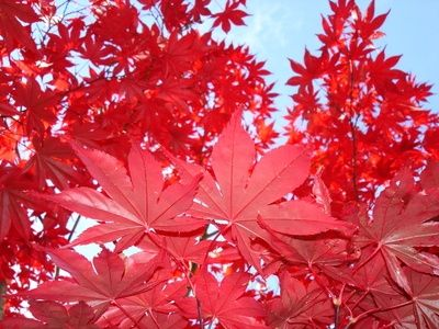How to Trim & Shape a Red Maple Tree