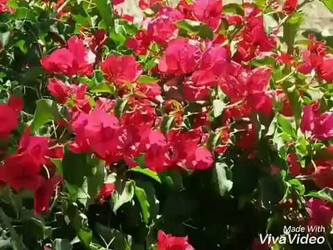 No 99 How To Grow Bougainvillea From Cuttings Easily Without Any Rooting Hormone Hindi Urdu Youtube Bougainvillea Rooting Hormone Planting Flowers