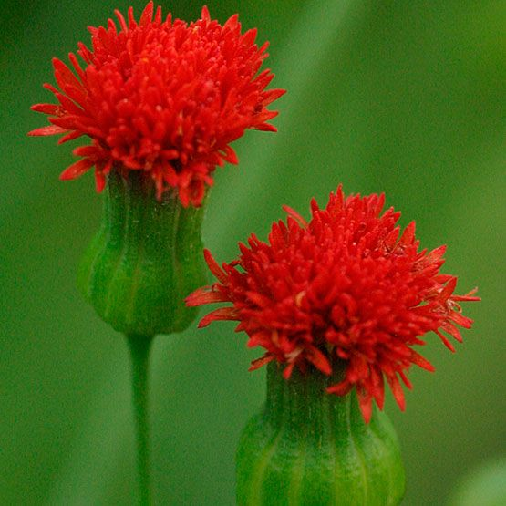 Tassel flower, Flora's paintbrush  Latin name: Emilia coccinea