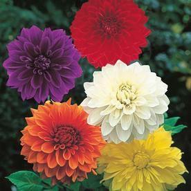 Gardens Alive 5 Pack Lilac Time Dahlia Bulbs Lowes Com Dahlia Summer Bulbs Summer Flowering Bulbs