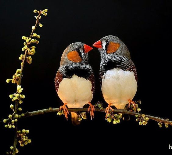 "Daily Bird Pics on Instagram: ""Zebra finches by @hdg_wildlife_photo . . #your_best_birds #bestbirdshots #best_birds_of_world #bird_brilliance #nfnl #elite_worldwide_birds…"""