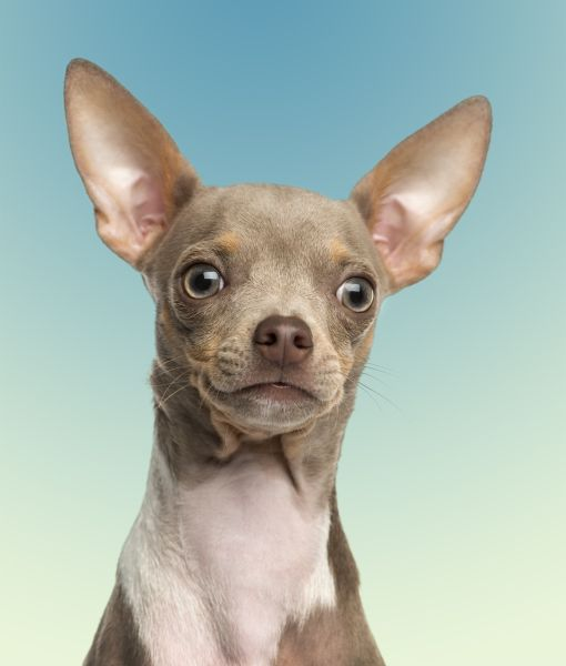 A Chihuahua Habitat 10 Cool Facts About Ch...