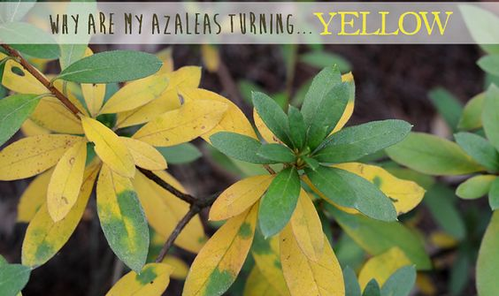 Why Are My Azalea Leaves Turning Yellow Redeem Your Ground Rygblog Com Azaleas Plant Leaves Garden Pictures