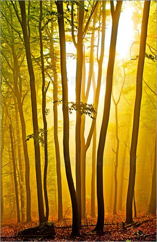 forest, trees, silhouettes, leaves, autumnally foliage, fog,nature, sun, yellow