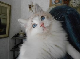 Khloe's Kittens – Persian kittens for sale – Himalayan ...