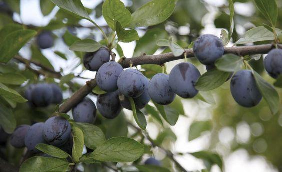 Pflaumen, aber auch Zwetschgen, Renekloden und Mirabellen tragen ihre Früchte an den zwei- bis mehrjährigen Zweigen