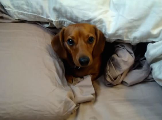 Sassy Dog Refuses to Leave Bed, Talks Back to Owner