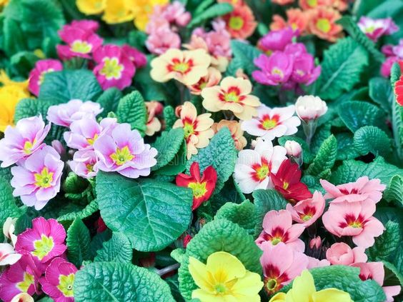PRIMULAS. Colorful spring flowers , #AFF, #Colorful, #PRIMULAS, #flowers, #spring #ad