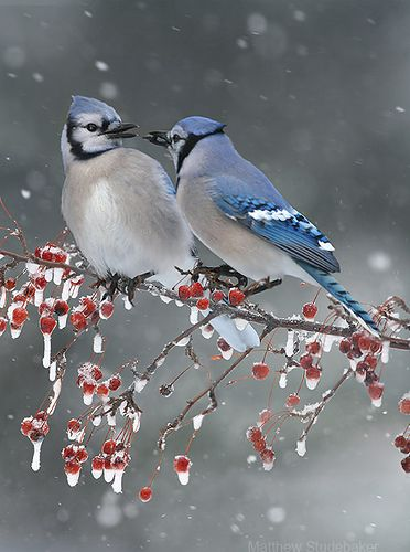 Blue Jay pair couple feeding each other on icy berry branch in winter christmas snow by www.studebakerbirds.com, via Flickr: